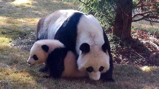 Bao Bao the panda plays outside with her Mum