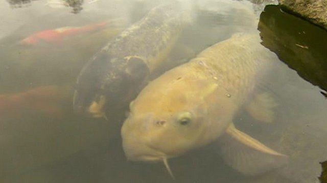 Chard the carp