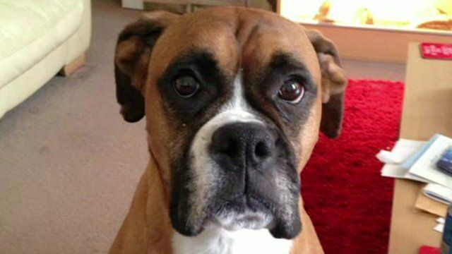 Rocky the boxer dog who was left to die