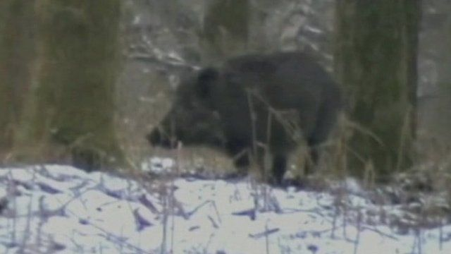 Wild boar in Forest of Dean