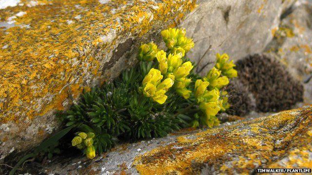 yellow whitlowgrass