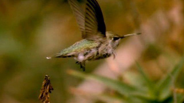 Anna's hummingbird (c) Lentink Group