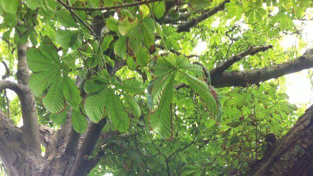 Pentrefoelas horse chestnut