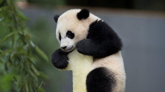 Bao Bao, the female panda cub climbing on top of her birthday cake