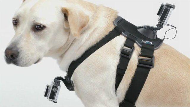 Dog wearing GoPro camera harness