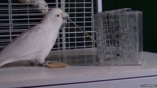 A Goffin cockatoo demonstrates to another bird how to make and use a food retrieving stick (c) Alice Auersperg