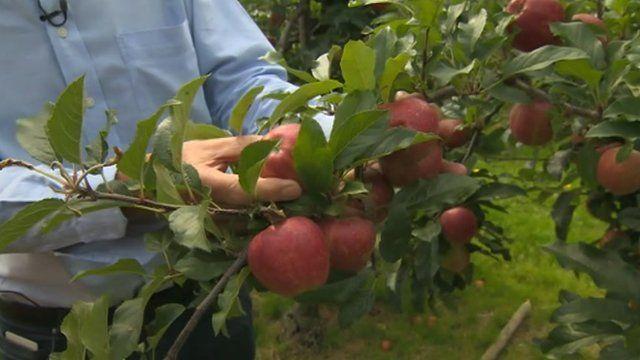 Kent apple crop