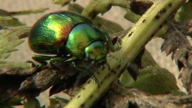 Tansy beetle at Wicken Fen