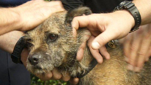 Henry the border terrier