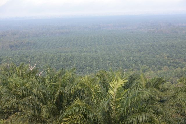 Cargill palm plantation