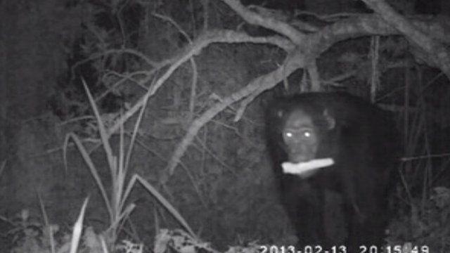 Chimp raiding maize field at night (c) Plos One