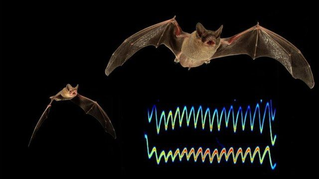 Two bats competing for prey and a visual rendering of the jamming call