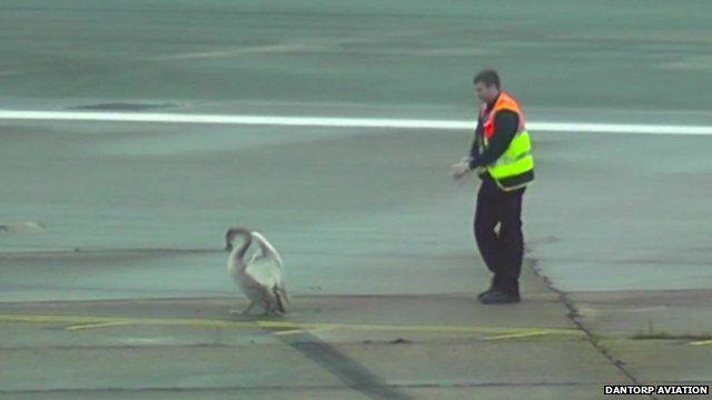 Swan on runway