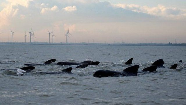 Pod of whales swimming off the Essex coast