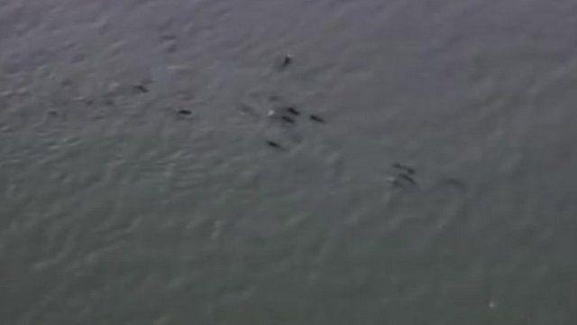 Pilot whales off Essex coast