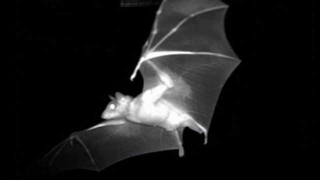 Fruit bat in flight (c) Finkelstein et al