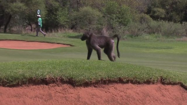 Nedbank Challenge: Luke Donald chased by golf course baboon