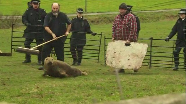 Police and animal welfare officers rescue a seal found in a field near Newton-le-Willows