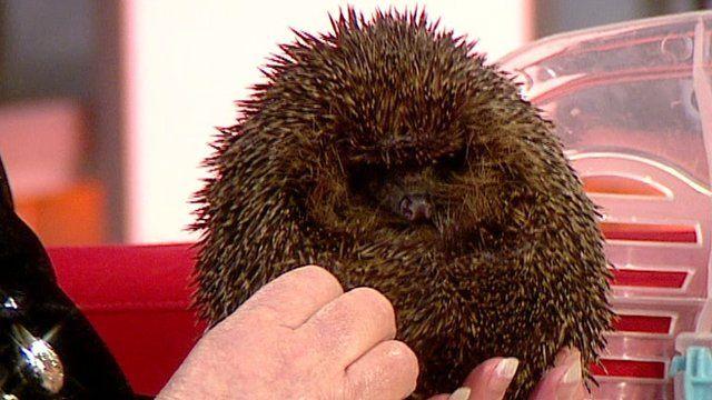 Hedgehog on BBC Breakfast set