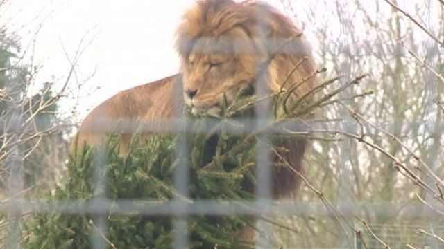 Lion with Christmas tree