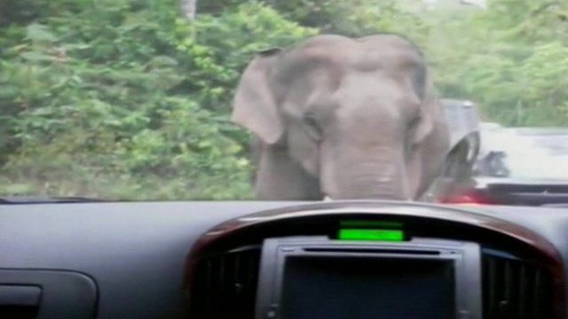 An elephant in Thailand rams a car in Khao Yai National Park