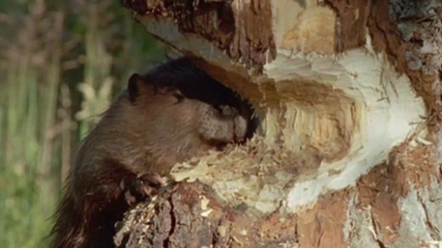A beaver gnawing at a tree trunk