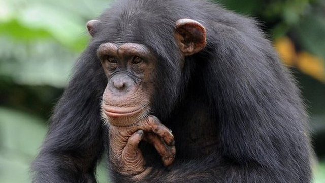 Chimpanzee thinking