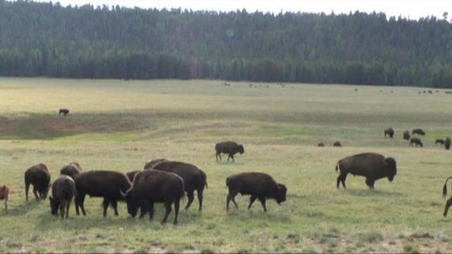 Beefalo in the Grand Canyon