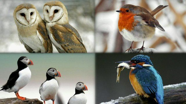 Barn owls, robin, puffins and kingfisher
