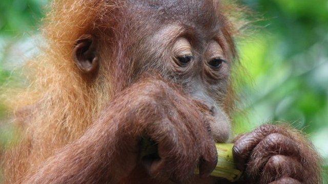 Orangutan (c) Victoria Gill