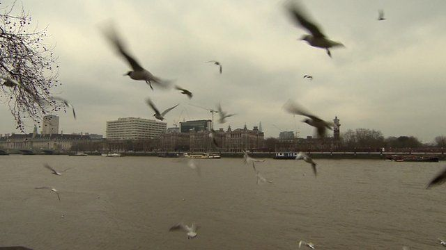 Gulls on River Thames in Westminster