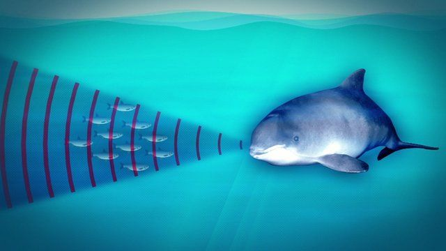 Graphic showing porpoise using sound waves