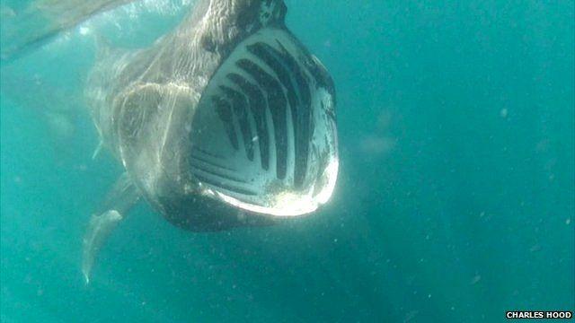Basking shark courtesy of Charles Hood