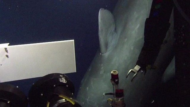 Sperm whale looking at underwater equipment