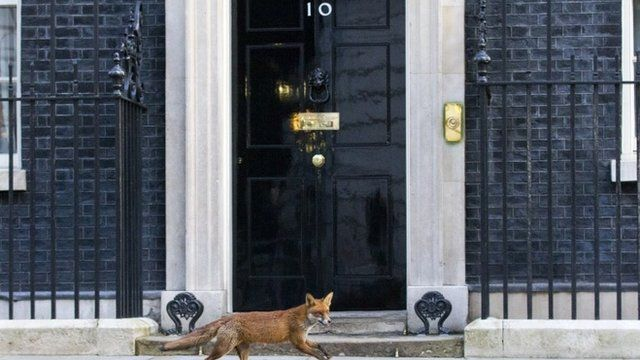 Fox outside number 10