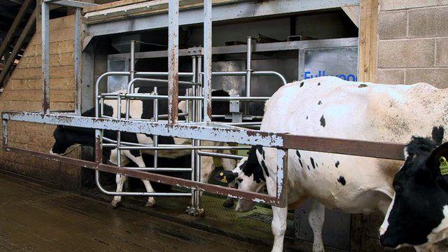 Cows queue for milking robot