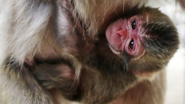 Newborn monkey named Charlotte clings to her mother