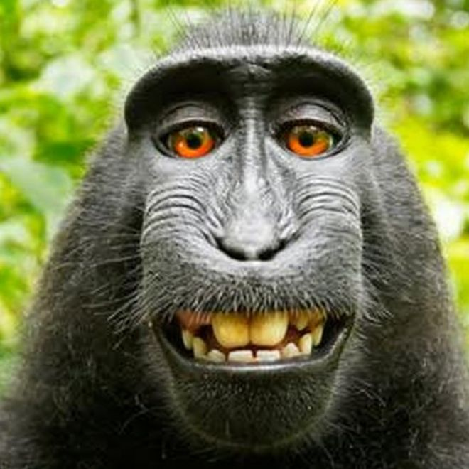 Image result for monkey selfie