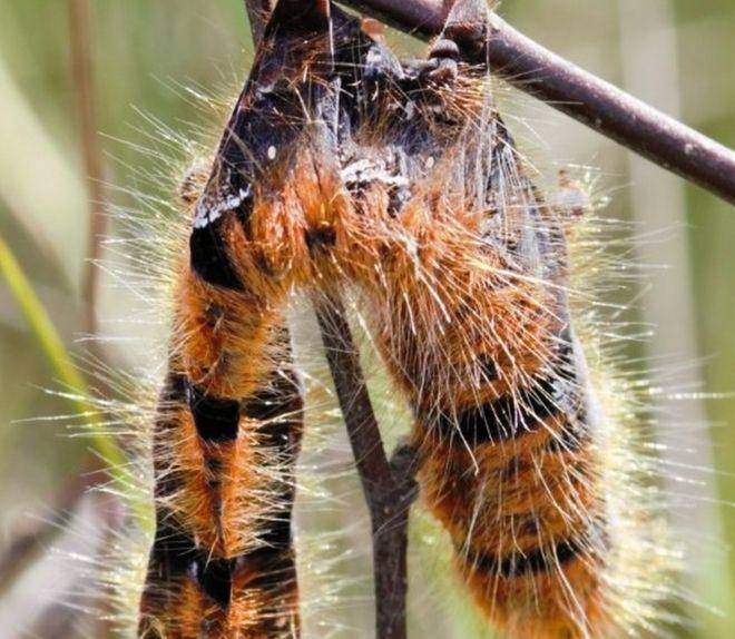 Caterpillar skin