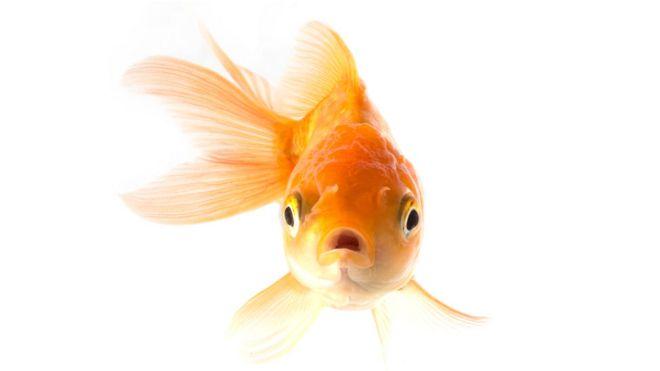 El pez que se