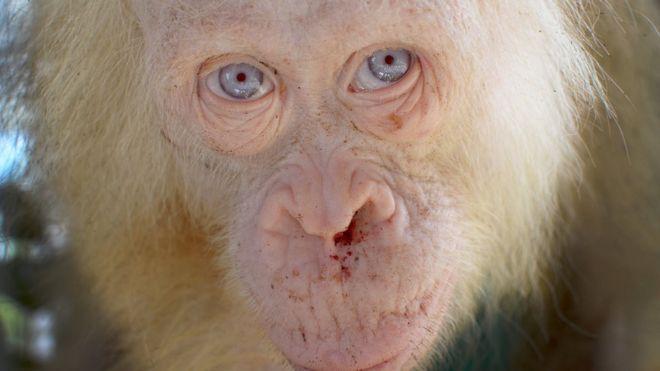 albino orangutan
