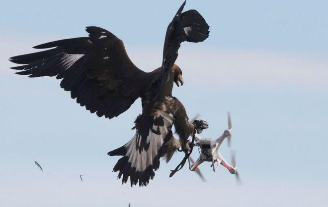 عقاب پهپاد را میگیرد