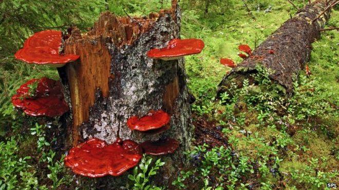 「Ganoderma lucidum」の画像検索結果