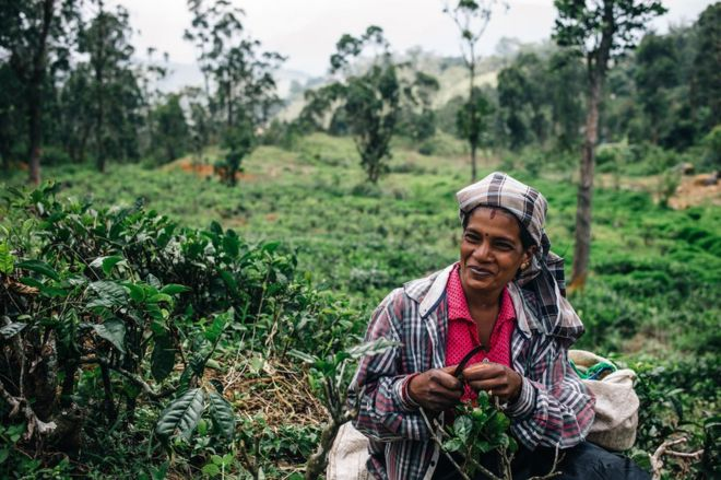 A tea plucker works on a plantation
