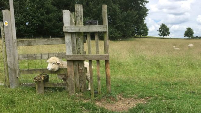 Sheep stuck in a stile