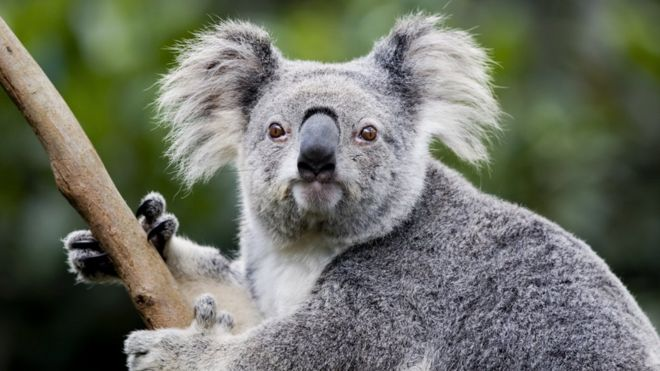 Koala's ears severed in 'disturbing' Australia cruelty ...