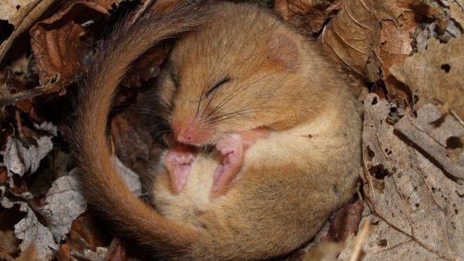 Sleeping dormouse & Dormice in Britain \u0027vulnerable to extinction\u0027 - BBC News