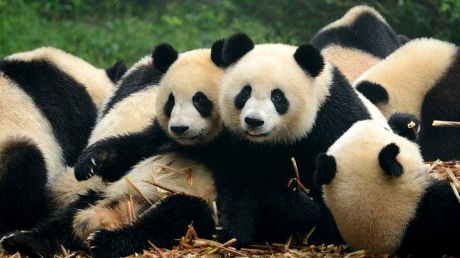 PANDAS: estos animales pueden parecer tiernos pero ten mucho cuidado con ellos