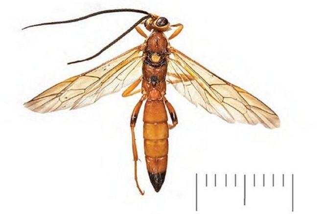 Risultati immagini per wasp  kent new species