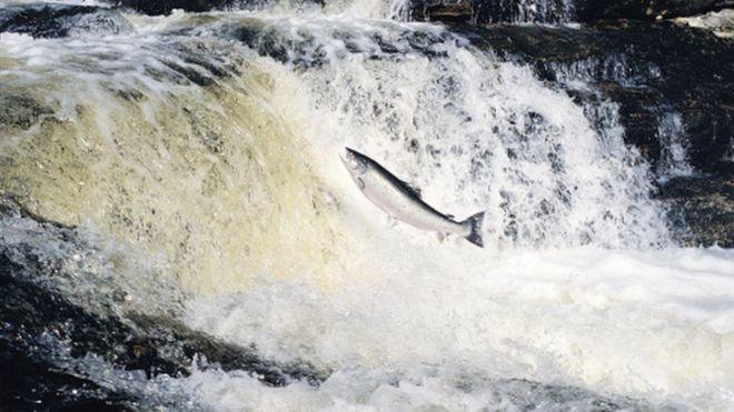 Экспортные продажи британского лосося растут